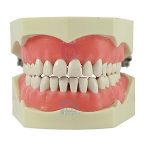 GDC Jaw Set Columbia Type & Teeth